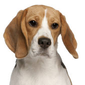 Close-up of Beagle puppy, 6 months old, in front of white background — Stock Photo