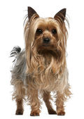 Yorkshire Terrier, 3 years old, standing in front of white background — Stock Photo