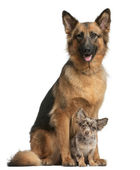 German shepherd, 3 years old, and Chihuahua, 4 months old, sitting in front of white background — Stock Photo