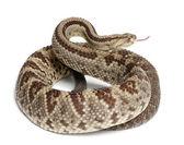 Serpiente de cascabel sudamericana - crotalus durissus, venenoso, whit — Foto de Stock