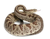 Zuid-amerikaanse ratelslang - crotalus durissus, giftige, whit — Stockfoto