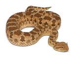Saharské zmije růžkatá - cerastes cerastes, jedovaté, bílé pozadí — Stock fotografie