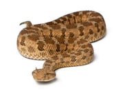 Subsahariana viper cornudo - cerastes cerastes, venenoso, blanco backg — Foto de Stock