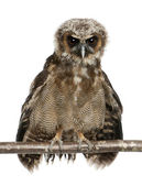 Portrait of Brown Wood Owl, Strix leptogrammica, perching in fro — Stock Photo