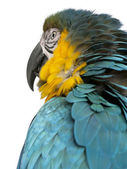 Close up of Blue and Yellow Macaw, Ara Ararauna, in front of white background — Stock Photo
