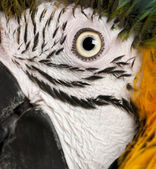 Portrait of Blue and Yellow Macaw, Ara Ararauna, eye — Stockfoto