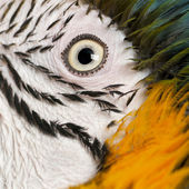 Portrait of Blue and Yellow Macaw, Ara Ararauna, eye — Stock Photo
