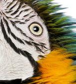 Close up of Blue and Yellow Macaw, Ara Ararauna, eye — Stock Photo