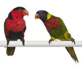 Ornate Lorikeet, Trichoglossus ornatus, and Black-capped Lory, Lorius lory, perching in front of white background — Stock Photo