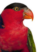 Close up of Black-capped Lory, Lorius lory, also known as Western Black-capped Lory or the Tricolored Lory, a parrot in front of white background — Stock Photo