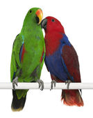 Male and Female Eclectus Parrots, Eclectus roratus, perching in — Stock Photo