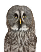 Portrait of Great Grey Owl or Lapland Owl, Strix nebulosa, a very large owl, in front of white background — Stock Photo