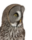 Close up of Great Grey Owl or Lapland Owl, Strix nebulosa, a very large owl, in front of white background — Stock Photo