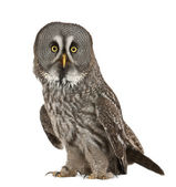 Portrait of Great Grey Owl or Lapland Owl, Strix nebulosa, a very large owl, standing in front of white background — Stock Photo