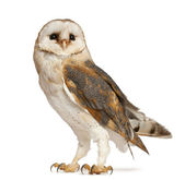 Barn Owl, Tyto alba, standing in front of white background — Stockfoto