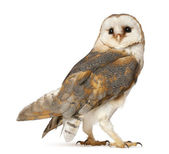 Barn Owl, Tyto alba, standing in front of white background — Photo