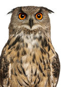 Portrait of Eurasian Eagle-Owl, Bubo bubo, a species of eagle owl in front of white background — Stock Photo