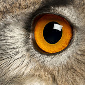 Close up of Eurasian Eagle-Owl, Bubo bubo, a species of eagle owl in front of white background — Stock Photo