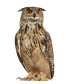 Eurasian Eagle-Owl, Bubo bubo, a species of eagle owl, standing in front of white background — Stock Photo