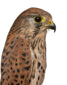Close up of Common Kestrel, Falco tinnunculus, a bird of prey in front of white background — Stock Photo