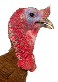 Portrait of Dindon Rouge des Ardennes turkey in front of white background — Stock Photo