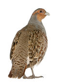 Portrait of Grey Partridge, Perdix perdix, also known as the English Partridge, Hungarian Partridge, or Hun, a game bird in the pheasant family, standing in front of white background — Stock Photo