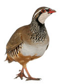 Red-legged Partridge or French Partridge, Alectoris rufa, a game bird in the pheasant family in front of white background — Stock Photo