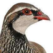 Close up of Red-legged Partridge or French Partridge, Alectoris rufa, a game bird in the pheasant family in front of white background — Stock Photo