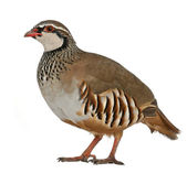 Portrait of Red-legged Partridge or French Partridge, Alectoris rufa, a game bird in the pheasant family, standing in front of white background — Stock Photo