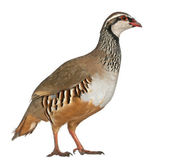 Red-legged Partridge or French Partridge, Alectoris rufa, a game bird in the pheasant family, standing in front of white background — Stock Photo