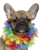 French Bulldog puppy, 3 months old, wearing a Hawaiian lei in front of white background — Stock Photo
