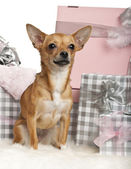 Chihuahua, 10 months old, sitting with Christmas gifts in front of white background — Stock Photo