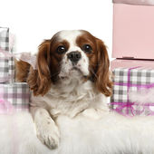 Cavalier King Charles Spaniel, lying with Christmas gifts in front of white background — 图库照片