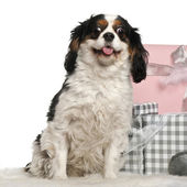 Cavalier king Charles sitting with Christmas gifts in front of white background — Zdjęcie stockowe