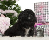Pekingese puppy, 5 months old, sitting with Christmas tree and gifts in front of white background — Stock Photo