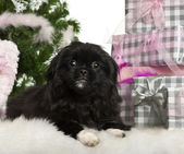 Pekingese puppy, 5 months old, lying with Christmas gifts in front of white background — Stock Photo