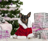 Miniature Pinscher, 3 years old, wearing Santa outfit with Christmas gifts in front of white background — Zdjęcie stockowe