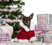 Pinczer miniaturowy, 3 lata stary, noszenie stroju santa boże narodzenie prezenty przed białym tle — Zdjęcie stockowe