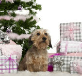 Dachshund, 3 years old, sitting with Christmas tree and gifts in front of white background — Stock Photo