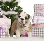 English Bulldog puppy, 2 months old, with Christmas gifts in front of white background — Stock Photo