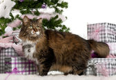 European Shorthair, 11 years old, with Christmas gifts in front of white background — Stock Photo