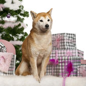 Shiba Inu, sitting with Christmas tree and gifts in front of white background — ストック写真