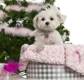 West Highland White Terrier, 6 years old, with Christmas gifts in front of white background — Stock Photo