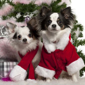 Chihuahua, wearing Santa outfit with Christmas gifts in front of white background — Stock Photo
