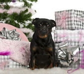 Mixed-breed dog sitting with Christmas tree and gifts in front of white background — Stock Photo