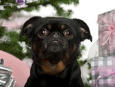 Close-up of Mixed-breed dog with Christmas gifts in front of white background — Stock Photo