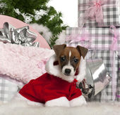 Jack Russell Terrier puppy, 11 weeks old, with Christmas gifts in front of white background — Stock Photo