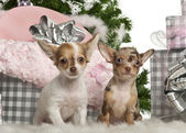 Chihuahua puppy, 4 months old, sitting with Christmas tree and gifts in front of white background — Stock Photo