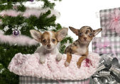 Chihuahua puppy, 4 months old, with Christmas gifts in front of white background — Stock Photo
