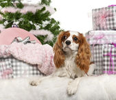 Cavalier King Charles Spaniel, 18 months old, lying with Christmas gifts in front of white background — Stock Photo